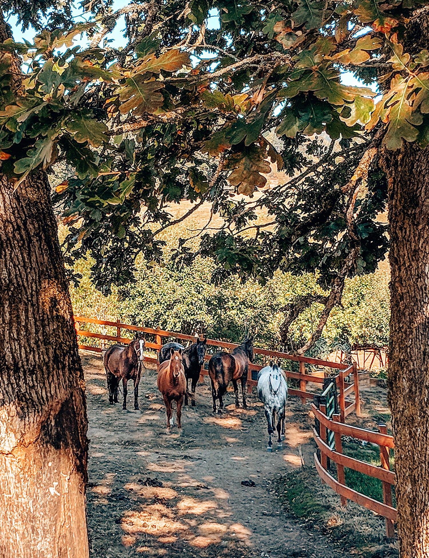 Adelsheim horses