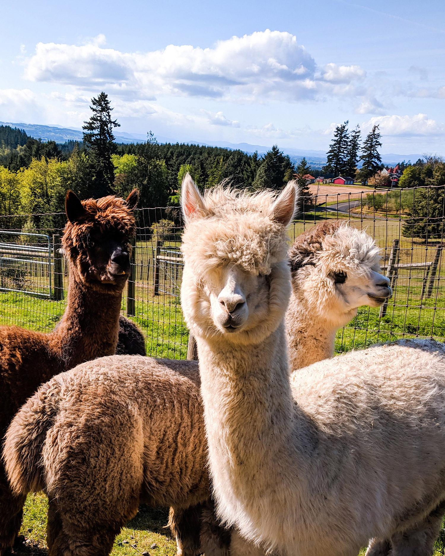 Marquam Hill Ranch alpacas