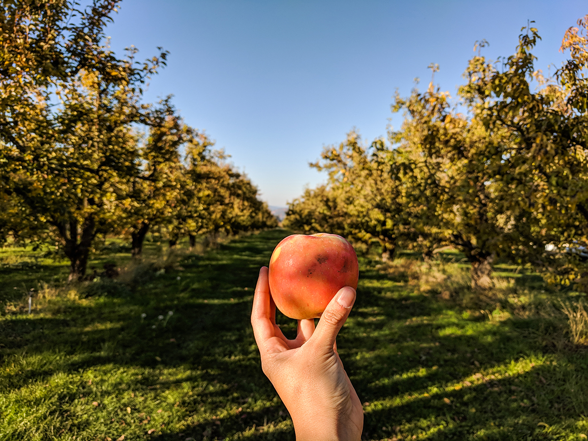 Fruit-loop-apple-orchard.jpg