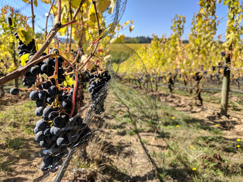 Adelsheim vineyard grapes