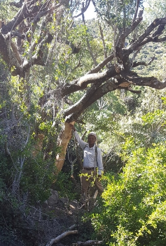 Mzimasi Dlakavu showing where the elephants barkstripped a cabbage tree. Photo: Ida Hansen