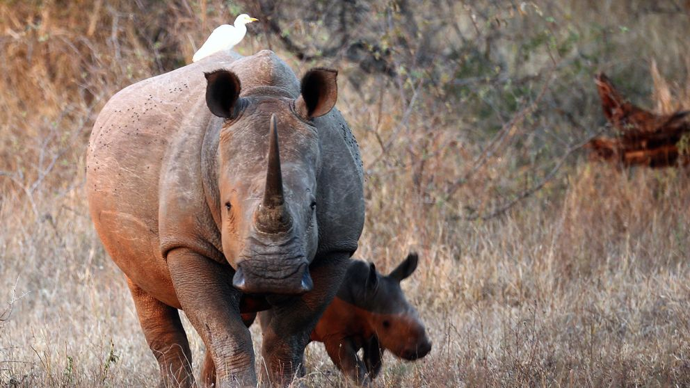 1,028 were poached in South Africa last year
