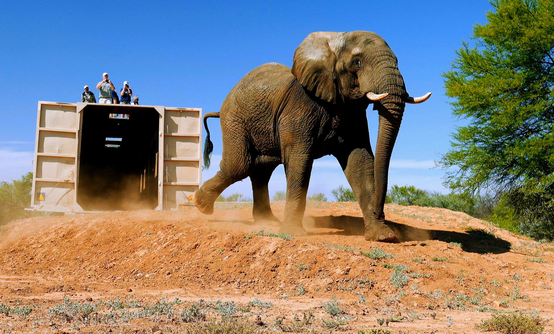 Mvula leaving the transportation crate at Samara Private Game Reserve. Photo: Daviid Swanepoel