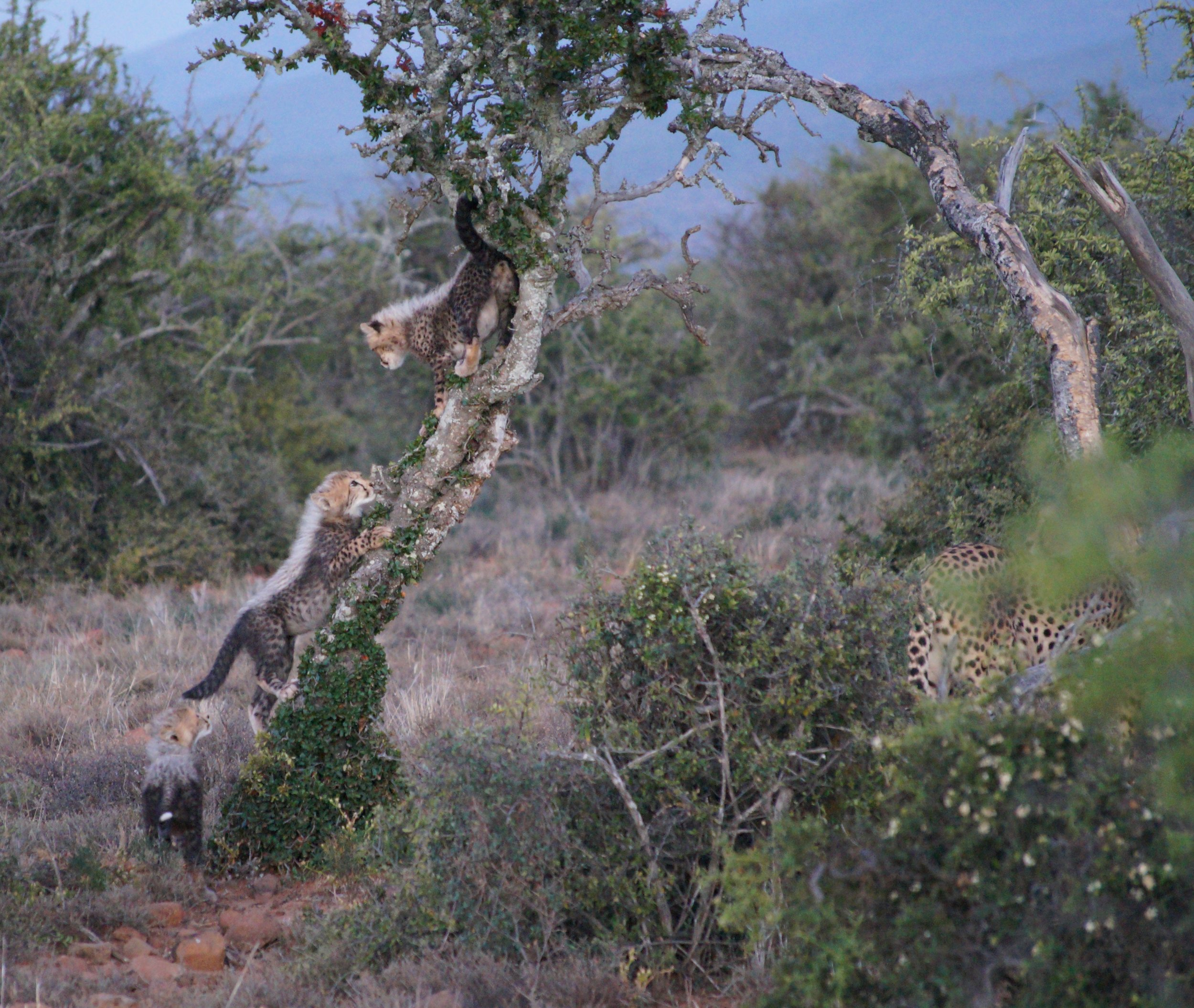 Female cheetah with her cubs at Samara Private Game Reserve. Photo: Ida Hansen