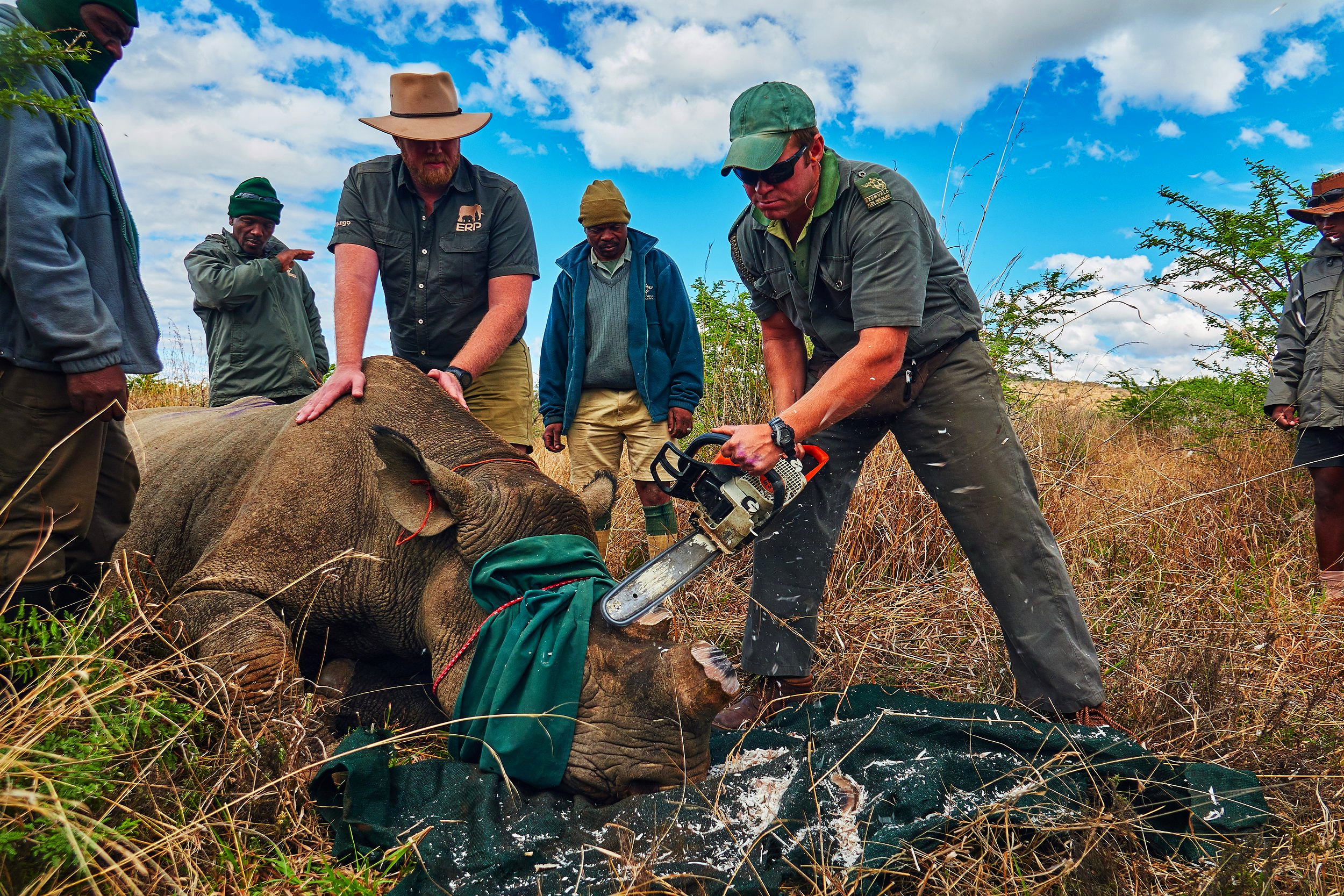 The rhino's horns are cut off with a chainsaw after careful measurements. Every piece of rhino horn is collected and removed to safety. Photo: Daviid Swanepoel