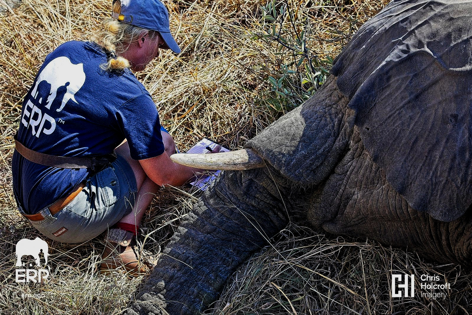 Ida taking measurements of a sedated elephant. Photo: Chris Holcroft