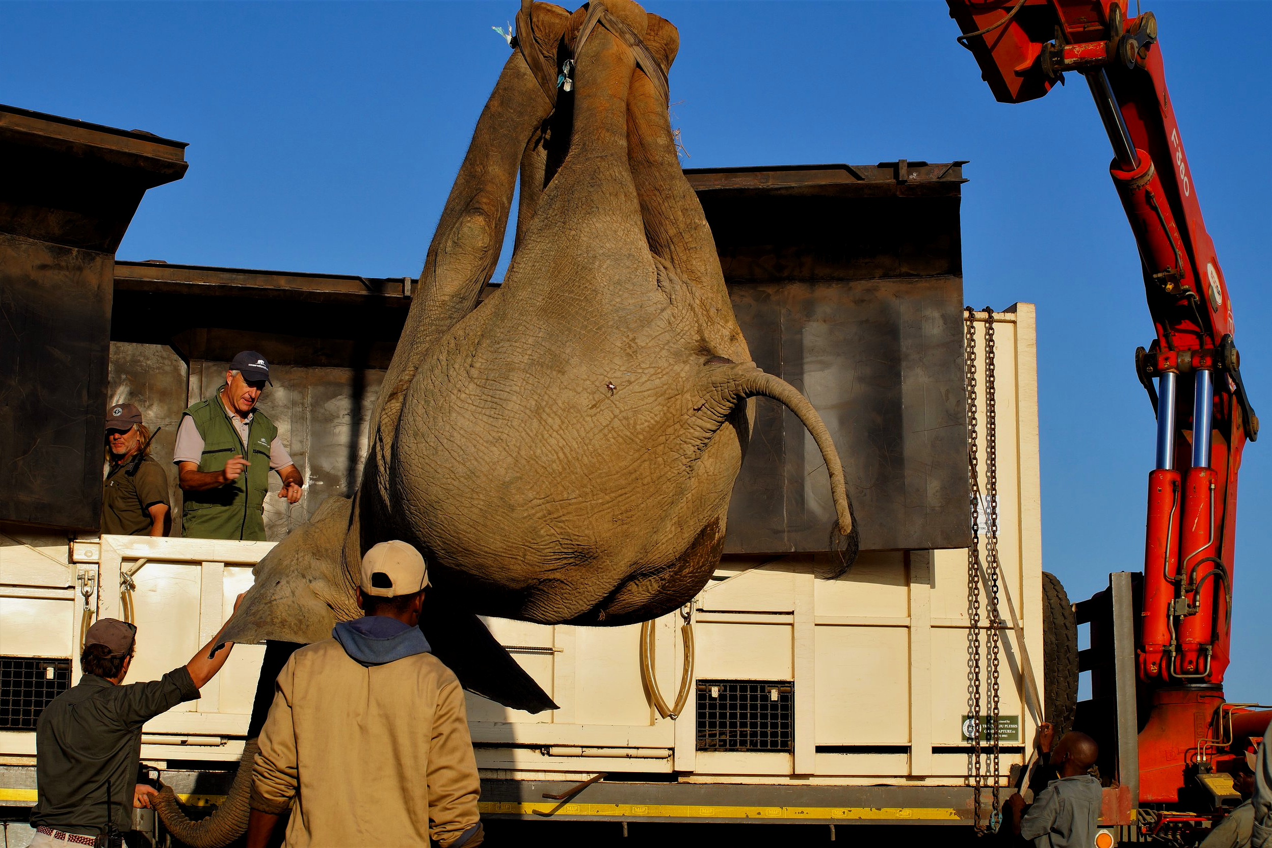 Elephant being loaded into the translocation truck. Photo: Ida Hansen
