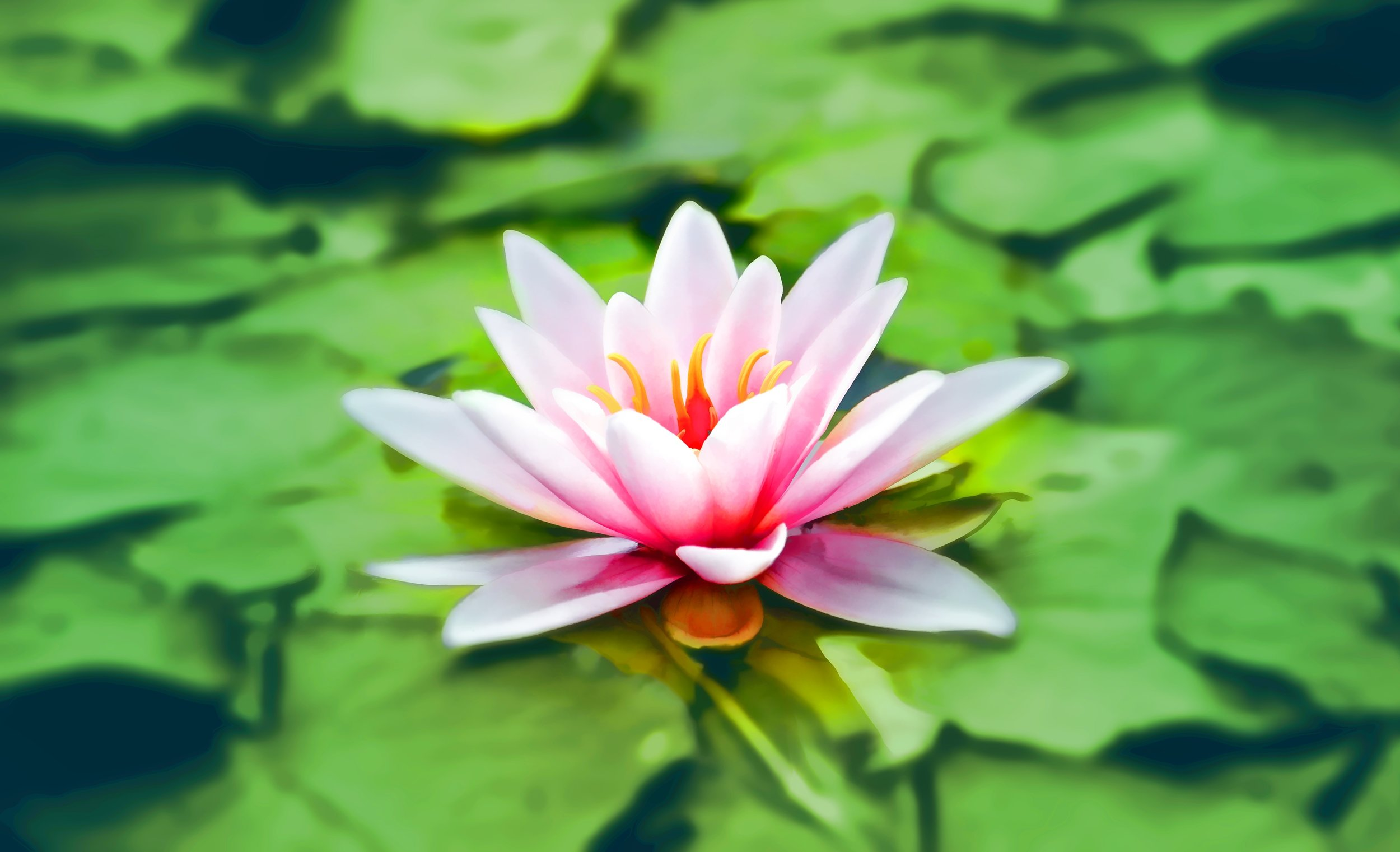 waterlily-pink-water-lily-water-plant-158465.jpeg