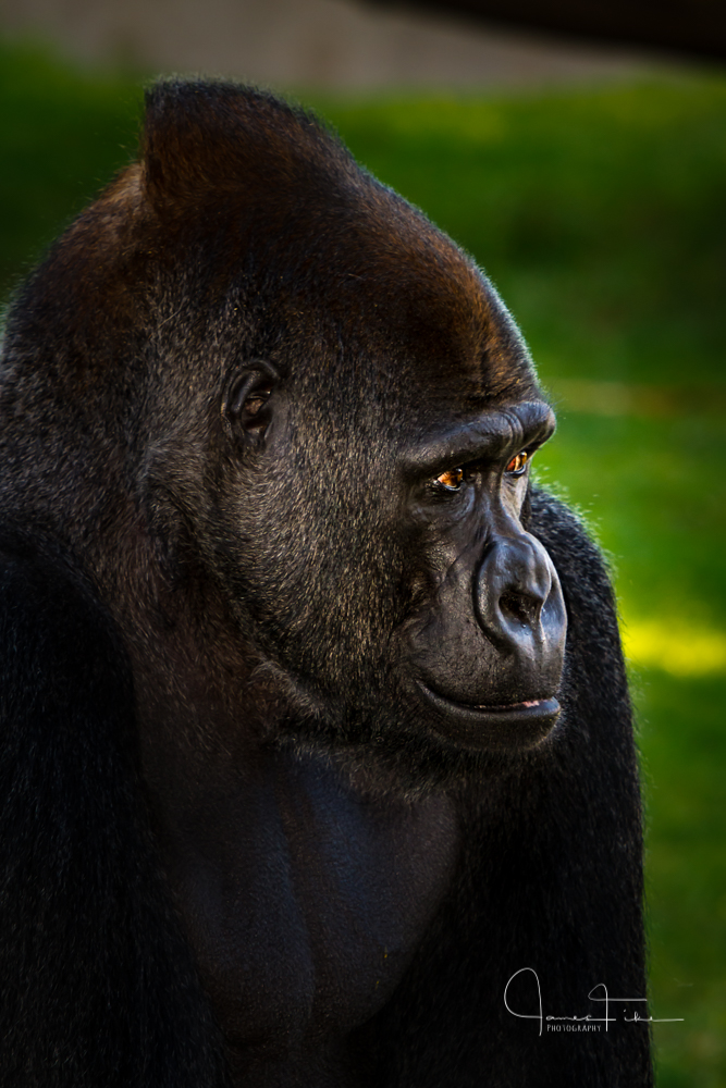 San Francisco Zoo Gorilla. Taken January 2012, by James Fike Photography.