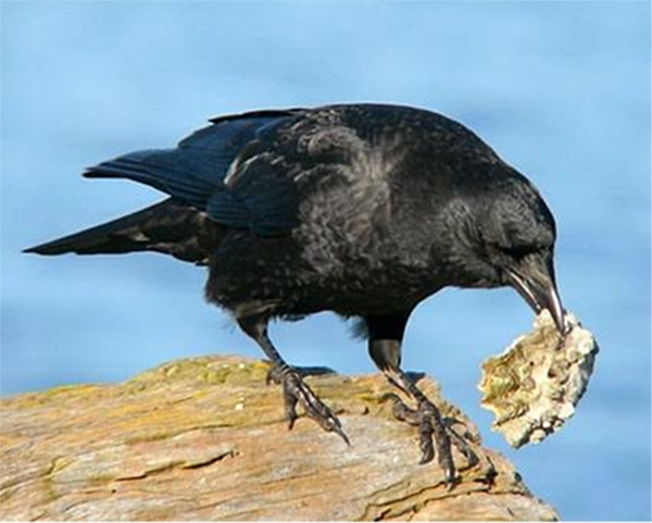 crow-picture