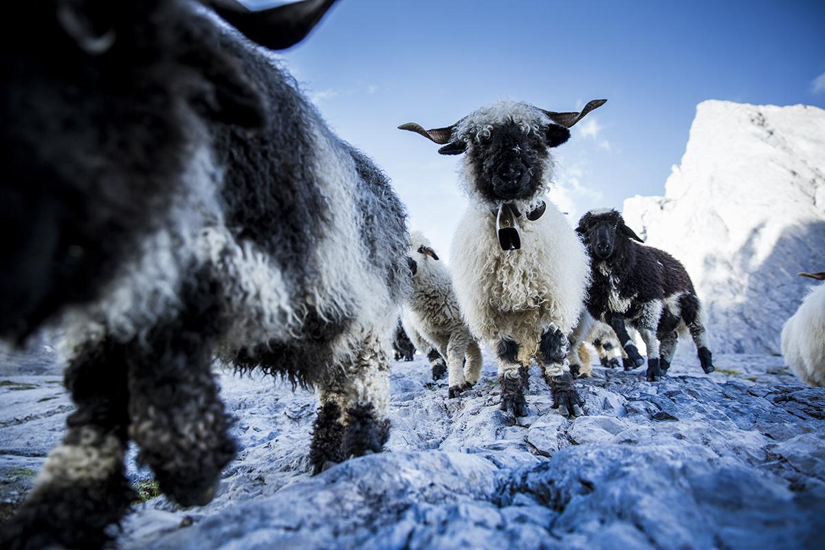 Les moutons à nez noirs du Valais (photo Hansi Heckmair - ortovox)