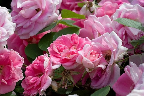 Bulgarian-Rose-Essential-Oil-Rose-Otto-Pure.jpg