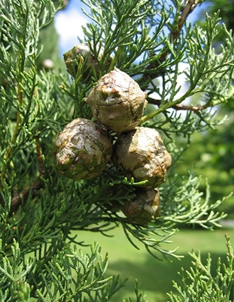 cypress_cupressus_sempervirens_naha_lg__large.jpg