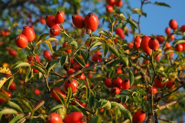 Rosehips-ready-to-harvest-Come-learn-their-benefits-and-how-to-use-them-Scratch-Mommy.jpg