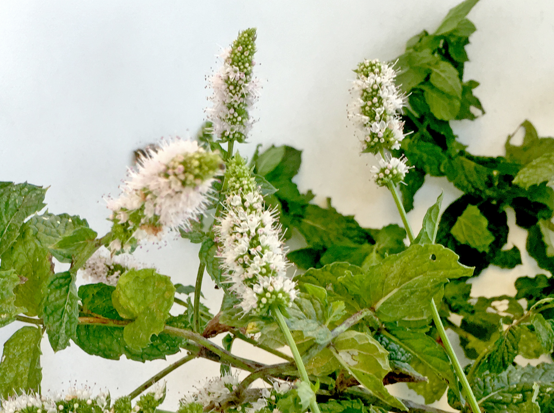 Peppermint | Wild Craft Oils | All Natural Essential Oils and Hydrosols | Encinitas, Ca.