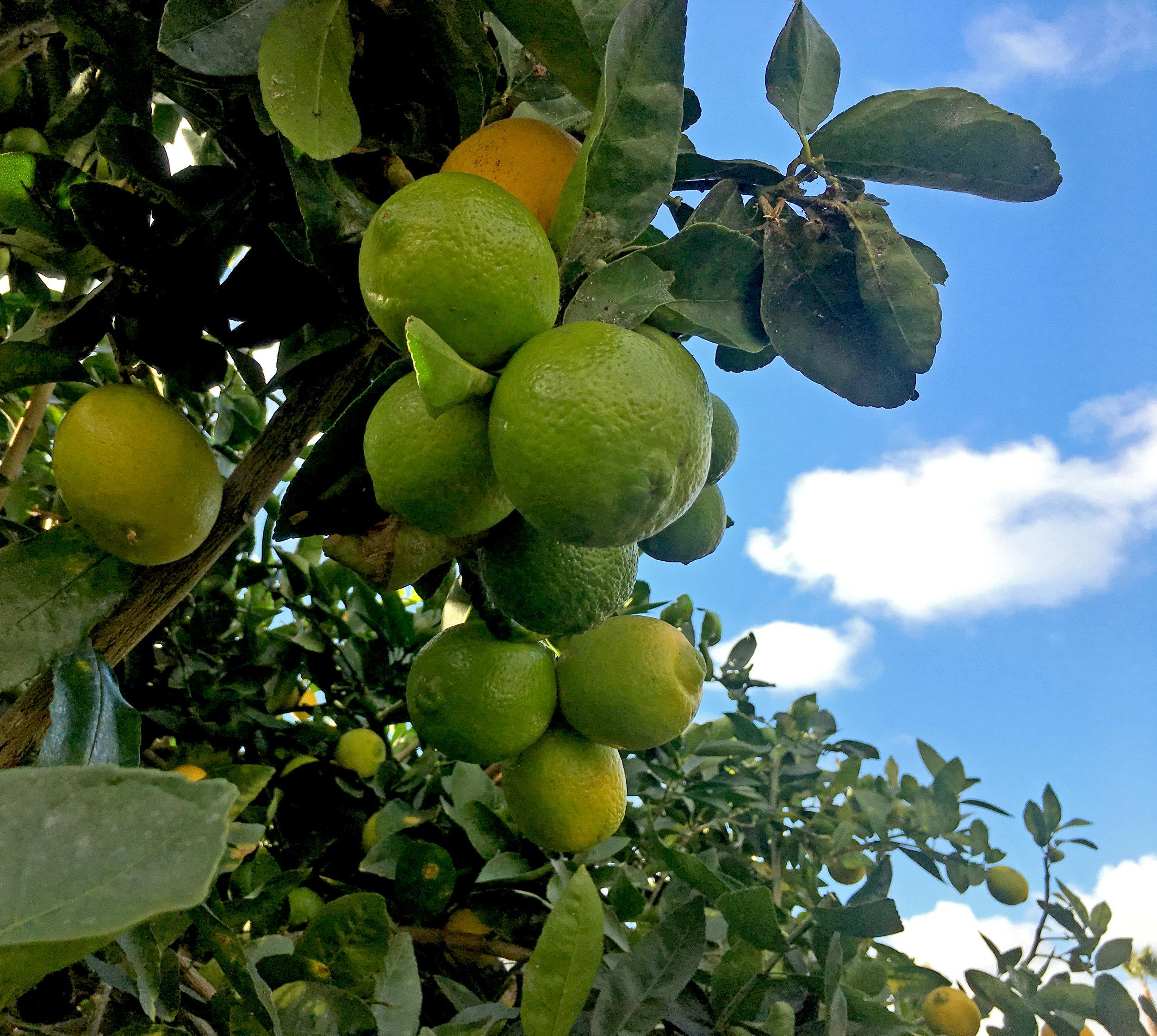 Lime Hydrosol - Wild Craft Oils - Encinitas, CA.
