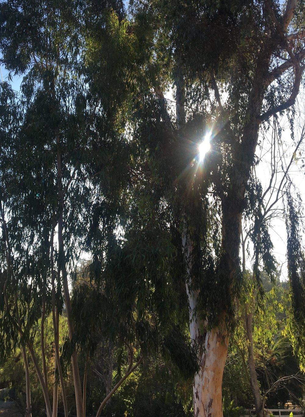 Eucalyptus Hydrosol | Wild Craft Oils - Encinitas, Ca.