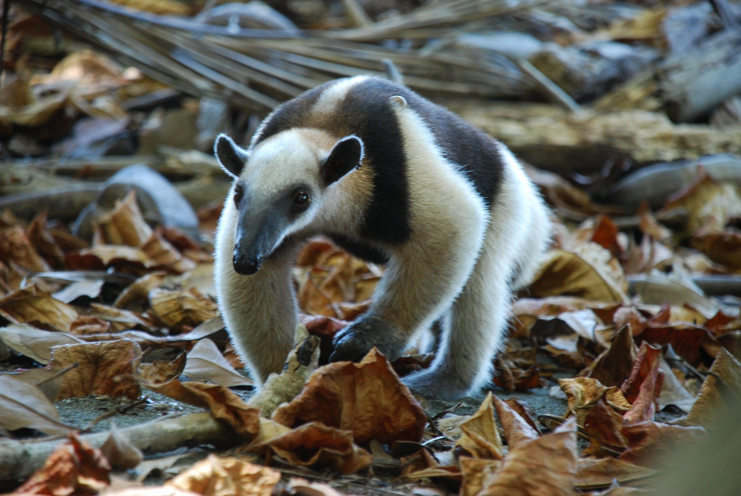 anteater crawling toward me.JPG