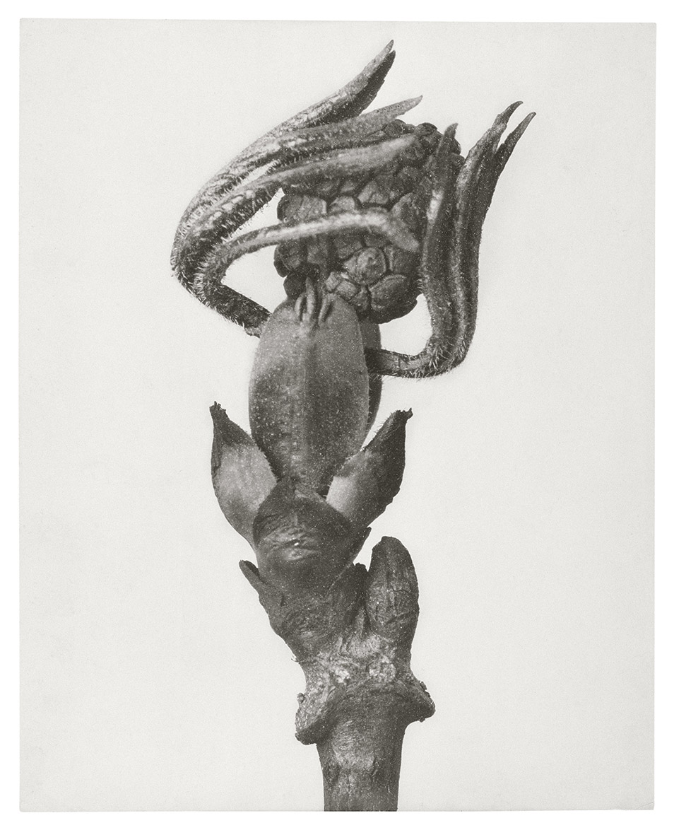 Photograph of bud about to unfurl, by Karl Blossfeldt