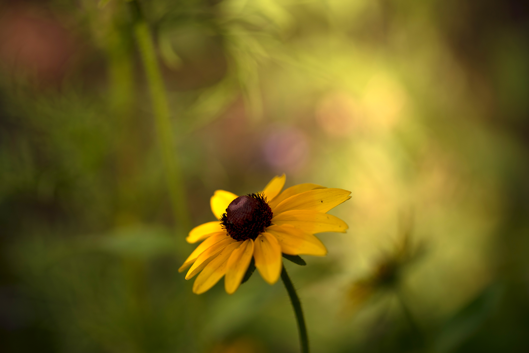 Black Eyed Susan Shadowed - Cottrell & Co. - CC1_5875.png