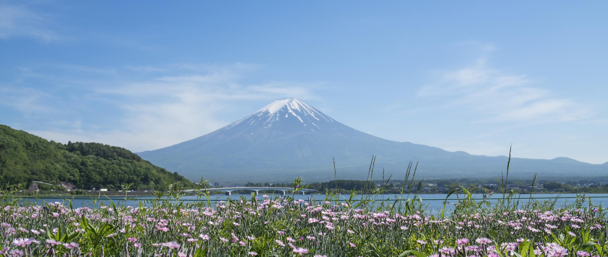 Mt Fuji Daisy 350cm x 147 Lustre_DSC6207.jpg