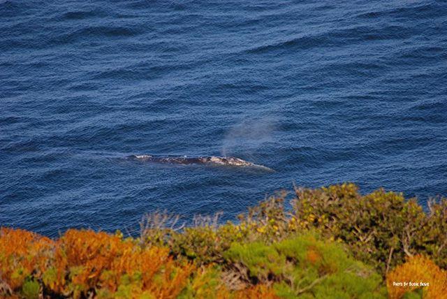 Grey whale Malibu California/ Malibuda Balinalar boyle kiyiya yakin gecen ehh bende Ceker😄🐳