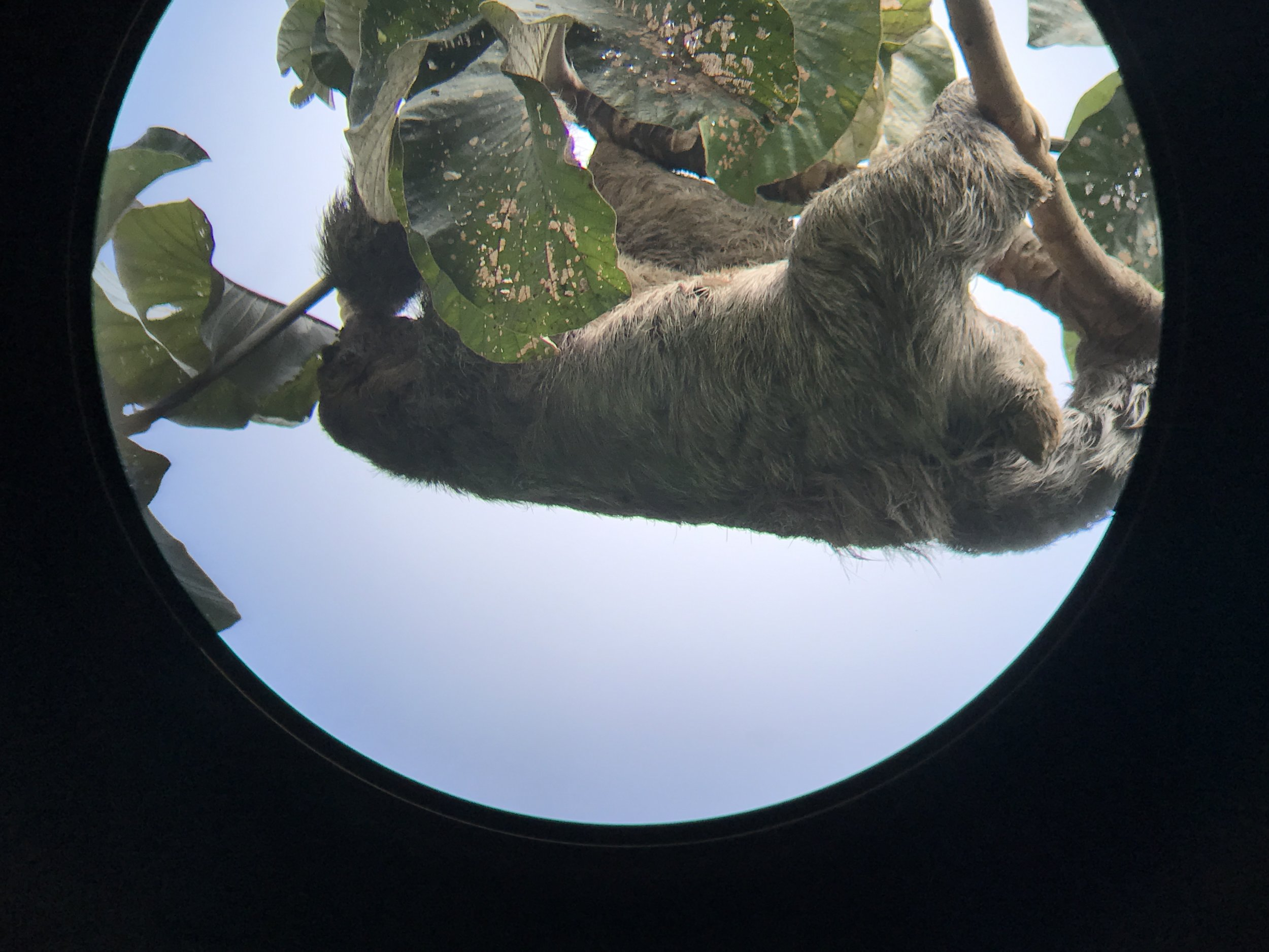 Cute sloth in Manuel Antonio Park