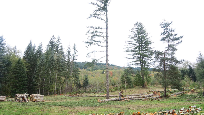 last doug pine firewood.JPG