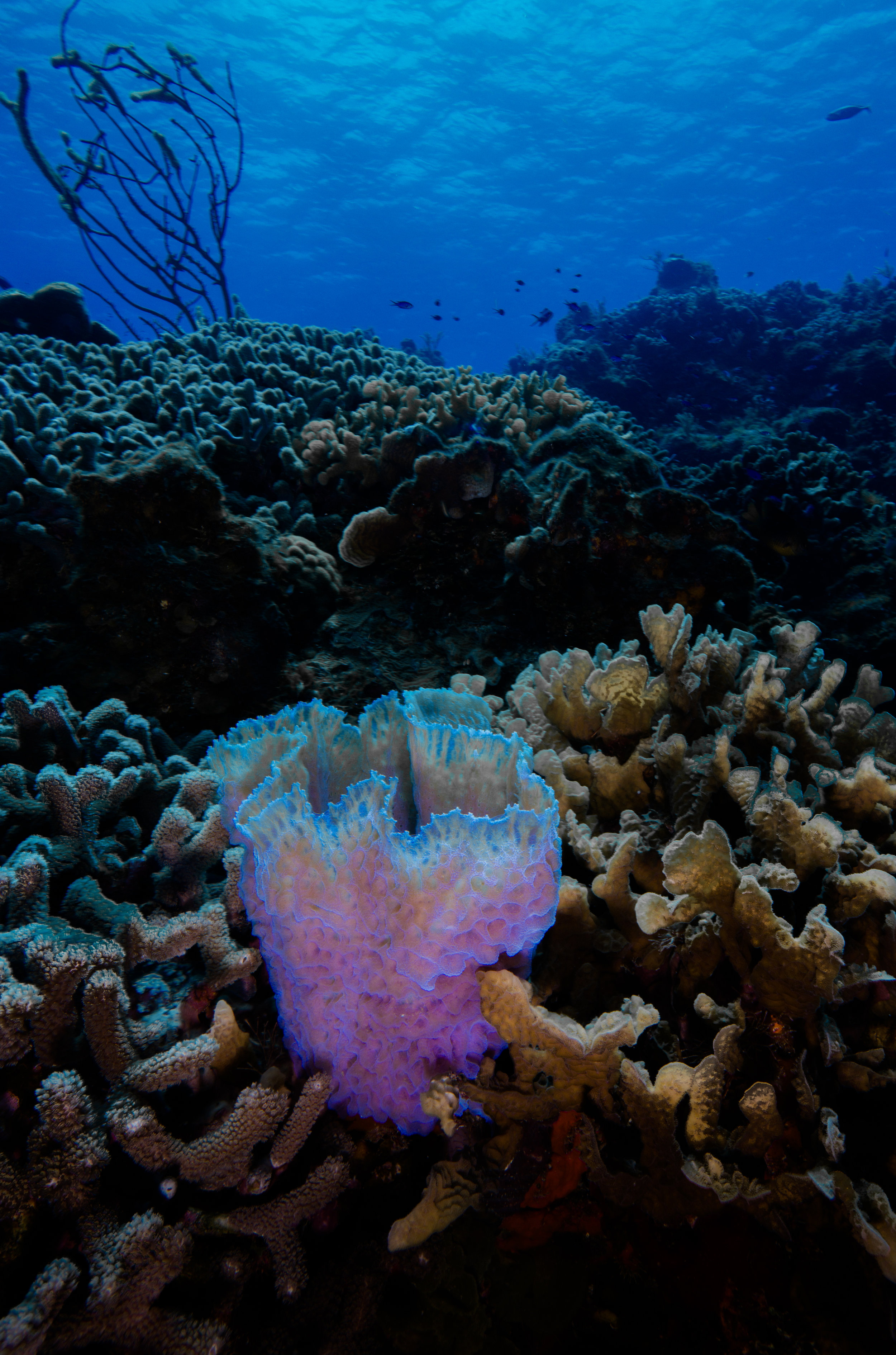 Cozumel Mexico - Underwater Photography - Azure Vase Sponge