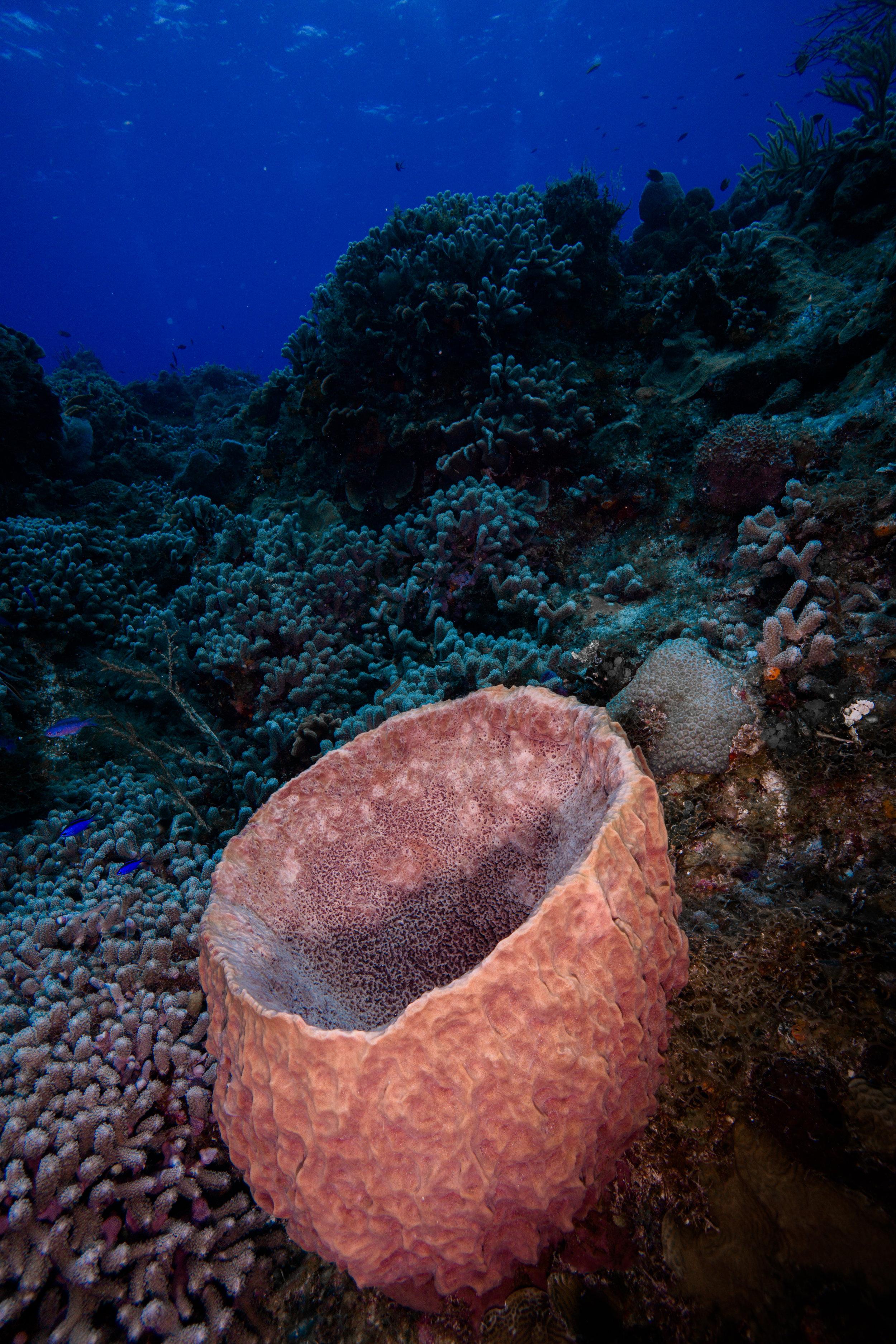 Pink Barrel Sponge