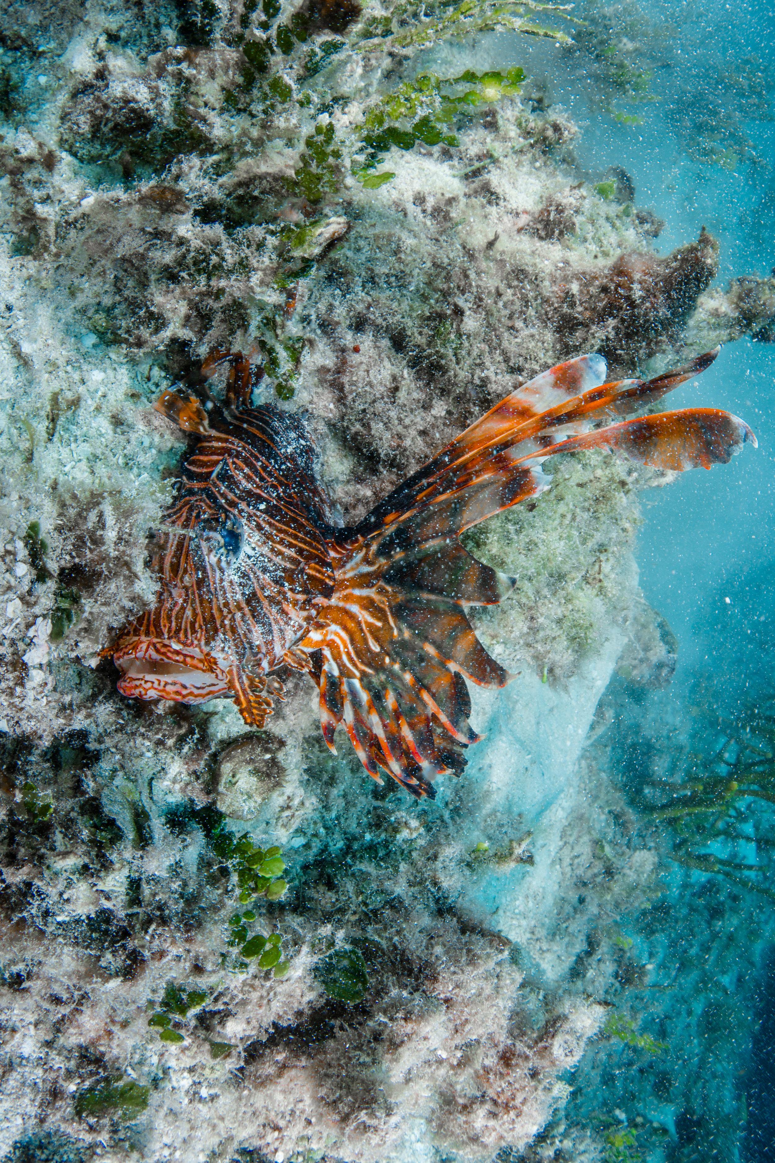 Lion Fish - Cozumel Mexico - Scuba Diving - Underwater photography