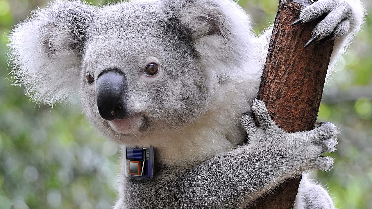 Endeavour Veterinary Ecology — Koala Tracking Device (2012)