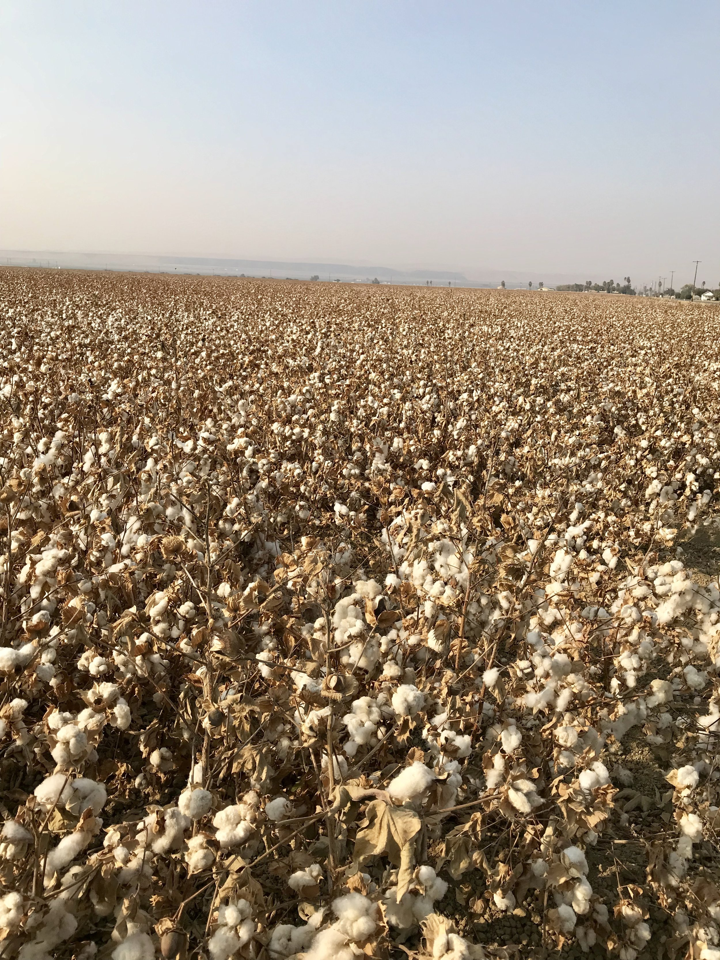 "Cotton growing in the Delta. We learned that California cotton is sold and prized worldwide for its high quality and even ends up in some products marketed as ""Egyptian cotton""!"