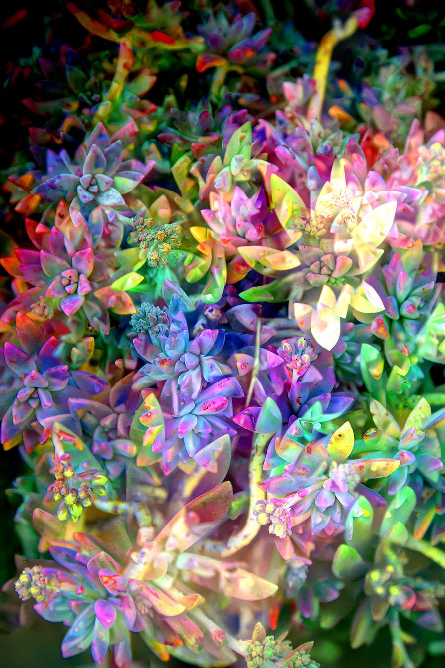 Succulent Colour