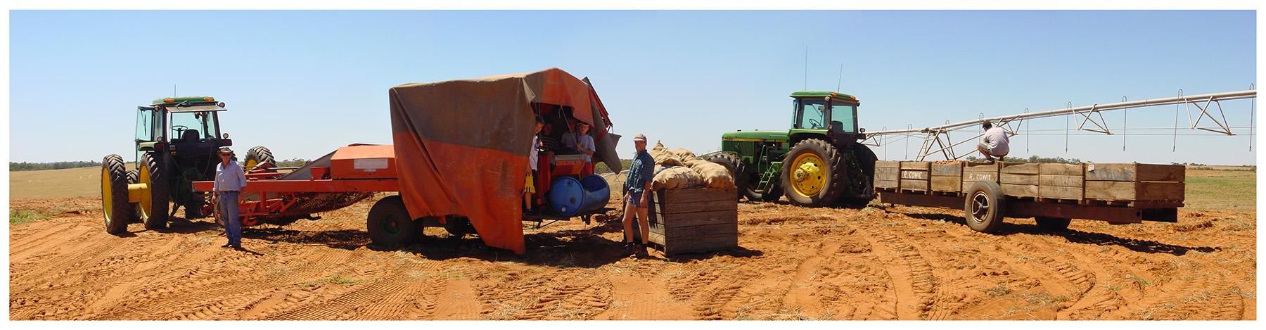 Potato harvesting - Yungera