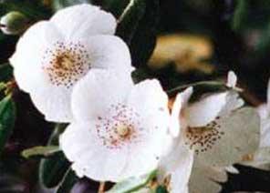 leatherwoodflower.jpg