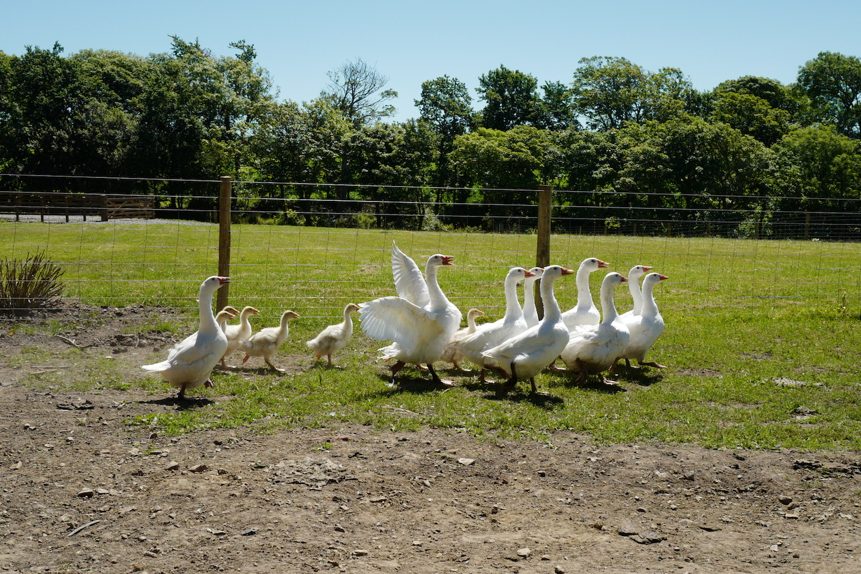 Our farm geese