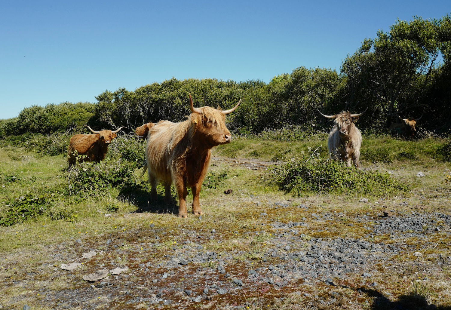 Our Highland cattle grazing on the Lizard