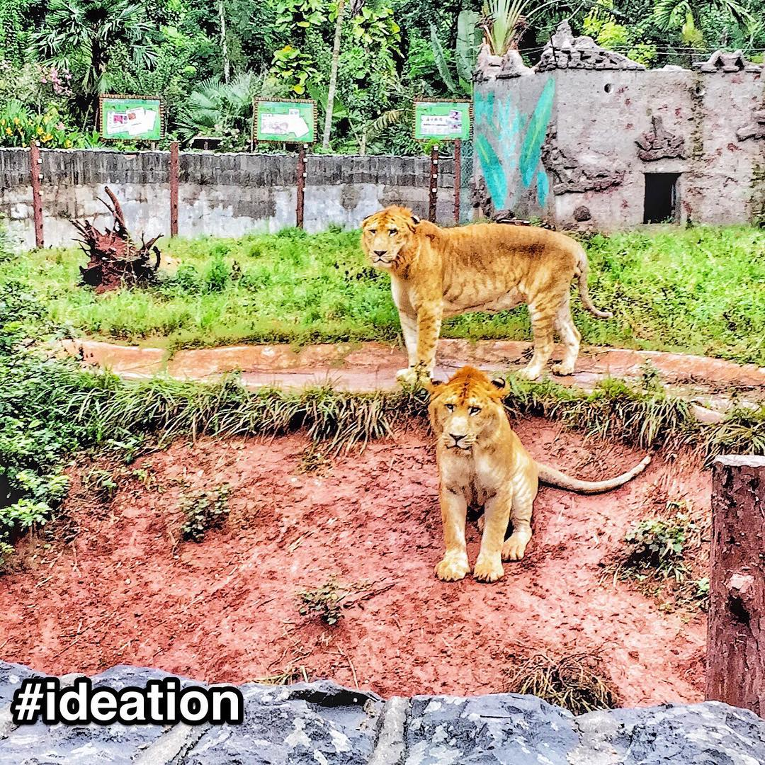 "#StrengthsFinder #ideation found not in #Singapore, but in #Hainan (#China) in the form of a #Liger    They are majestic looking. Faint dark strips, golden brown fur and spotting a ""baby"" mane.     This creature's existence is found only in captivity and never in the wild. It is birthed from 2 top predator species - Lion Father + Tiger Mother. These 2 animals would most probably maul each other in the wild. Instead in captivity, they just get 'wild' and gently maul ❤.     In the world, Ligers are the BIGGEST CATS. They are vastly bigger than either parent species and have been recorded to weigh 900 lbs!     When I heard about this species, the first thing I thought about was that the zoo-mad-scientist-keeper most probably had the StrengthsFinder Talent ideation    Described best by the StrengthsFinder definition of ideation  ""An idea is a connection. Yours is the kind of mind that is always looking for connections, and so you are intrigued when seemingly disparate phenomena can be linked by an obscure connection"".    Definitely a 'disparate phenomena' with an 'obscure connection'.    People talented with Ideation love to form hybrids. They love mixing concepts and ideas in an alchemy of possibilities. Experimenting, doodling and discovering are things that come naturally to one with ideation. So why not mix cat breeds to form a hybrid? The Liger was an experiment waiting to happen. It was just a matter of time, resources and perhaps tourism dollar.     To my amazement, I also saw a male Tiger in the cage together with a female leopard    Awaiting the Tipard  #StrengthsQuest #StrengthsSchool #StrengthsFinderSG #Asia #HumanResource #Gallup #SelfImprovement #SelfDevelopment #TrainingAndDevelopment #ProfessionalDevelopment #StrengthsFinderCoach    Jason Ho StrengthsFinder Coach • Strengths School™ Singapore     (at hainan island, China)"