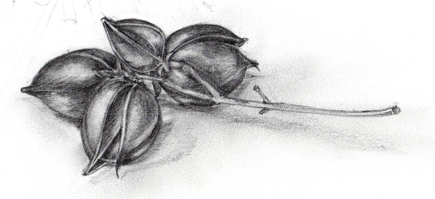 gallery_seedpods_ink.jpg