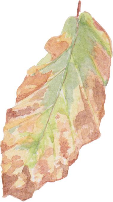 Devon leaf