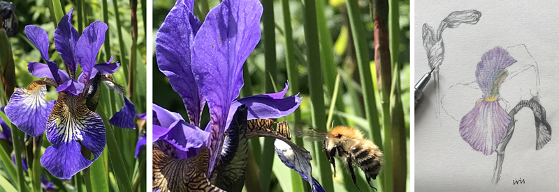 Wonderful iris flowers and yet more bees