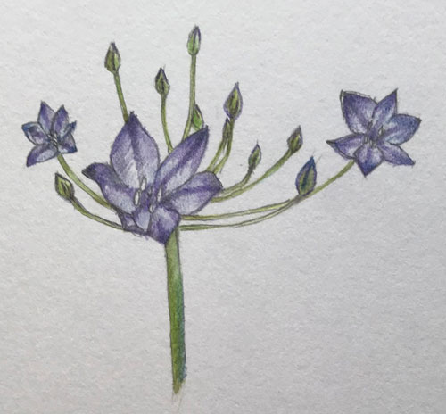 Pretty blue agapanthus flowers are sprinkled in the flowerbeds like stars