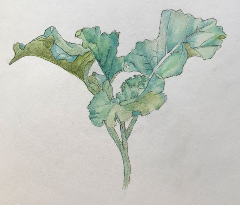 A broccoli plant's leaves