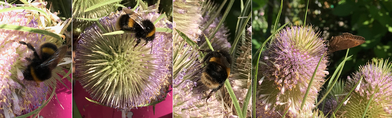 Bees and butterflies alike love these teasel flowers