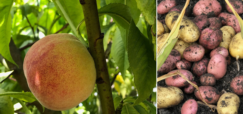 Peaches and spuds on the harvested on the same day
