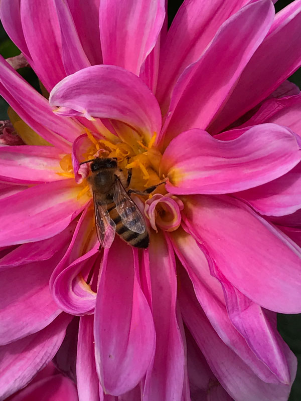 I'm not the only one enjoying the dahlias