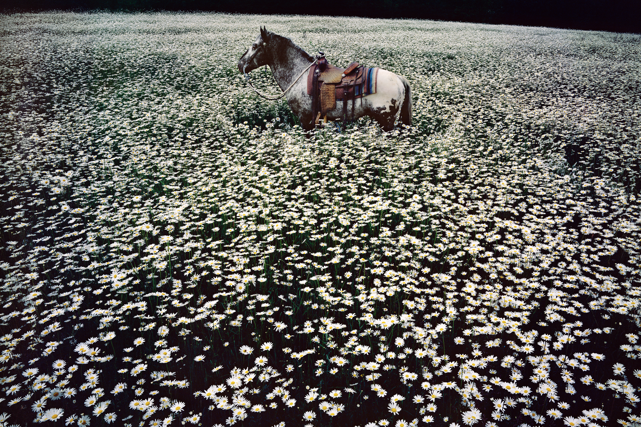 Linda McCartney.Lucky Spot in Daisy Field, Sussex, 1985. C-Type. Edition of 6 and 2 APs