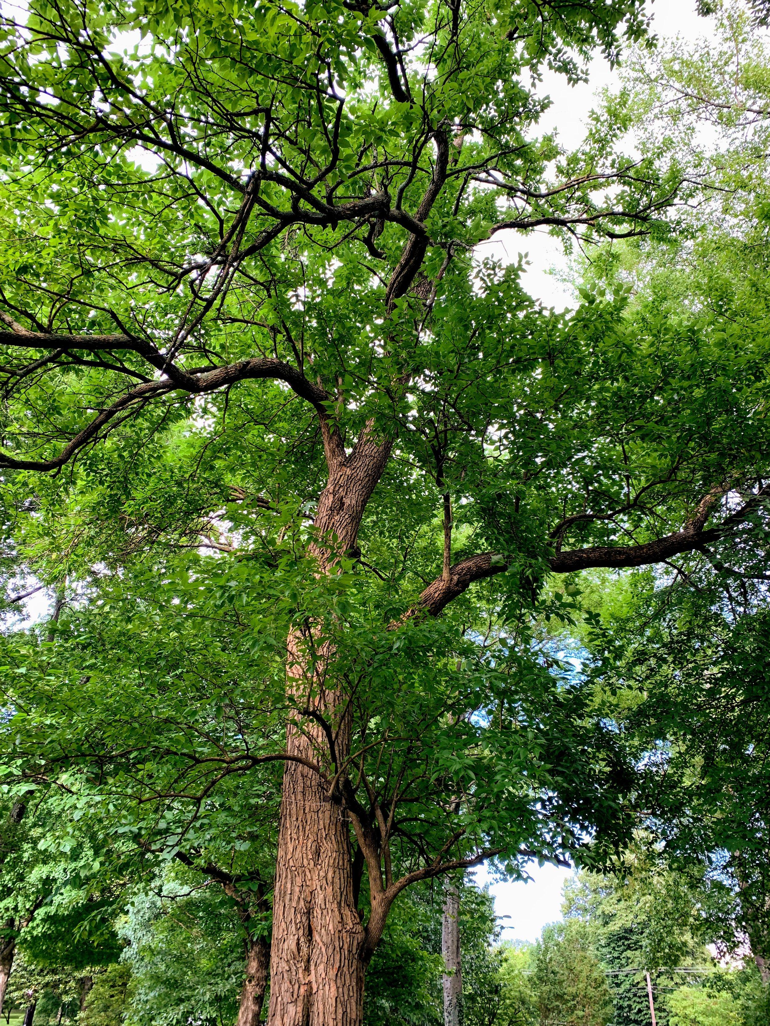 treewalkosageorange.jpg