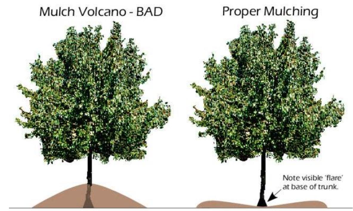 Volcano Mulching Kills Trees.    Information on Mulching